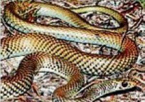 Lesser Black Whip snake.