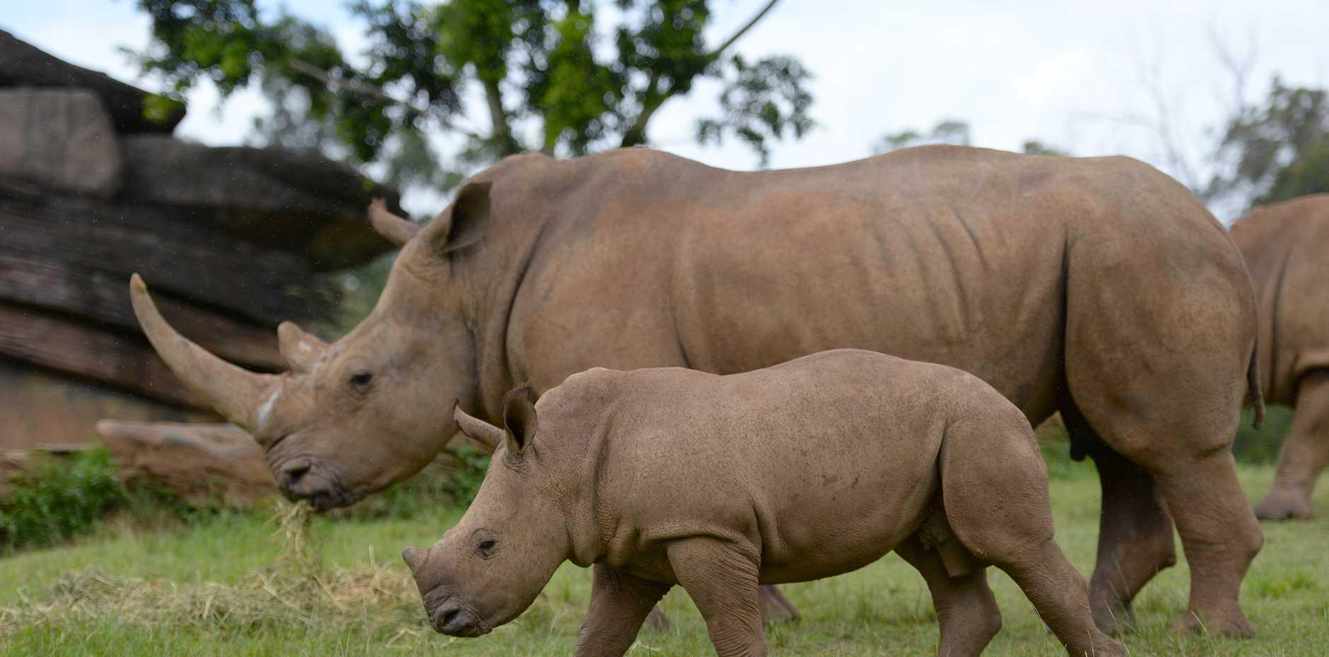 Humphrey, the white rhino calf, at Australia Zoo's African savannah.