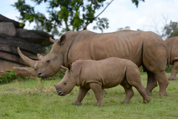 Humphrey, the white rhino calf, at Australia Zoo's African savannah.