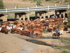 The Eidsvold Charity Cattle Drive concluded on April 9 after 330-head of cattle crossed the Burnett River.