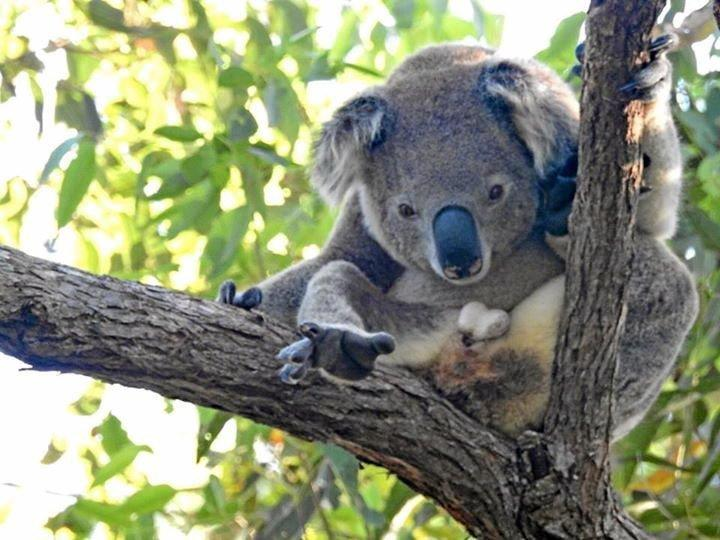 NATIONAL ICON: Saving our vulnerable wildlife is on the agenda at the Tweed Byron Koala Connections Forum.