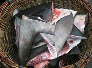 Shark fins seized in Rainbow Beach raids