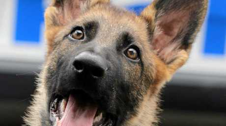Newly named NSW police puppy Warrior