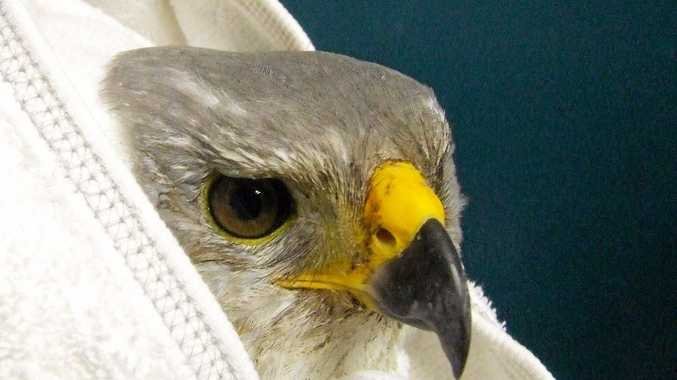 This juvenile grey goshawk was rescued by WIRES Northern Rivers. She was shot at close range with three lead pellets that badly fractured her leg.