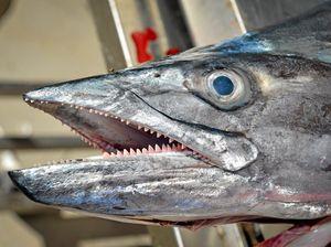 Authority warns against eating Spanish mackerel over 10kg