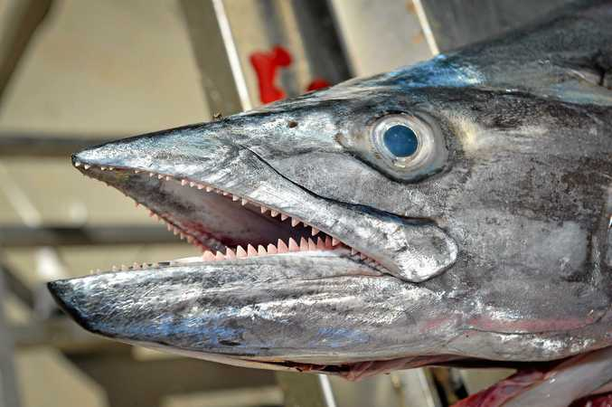 This 14.06kg Spanish mackerel is the size of fish consumers have been advised against eating.