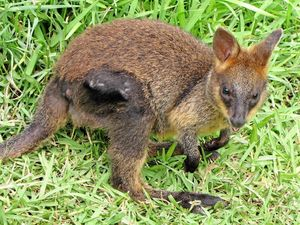 WIRES save life of young wallaby after mother's tragic death