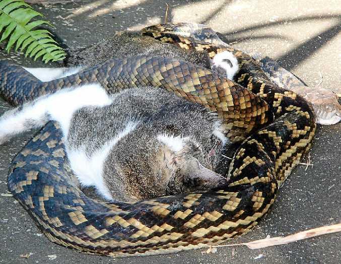 A python preparing to eat a neighbourhood cat.