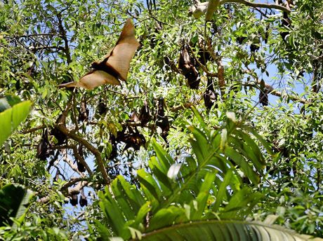 Camira residents would like to see a large colony of Flying Foxes culled or moved on. Photo: David Nielsen / The Queensland Times
