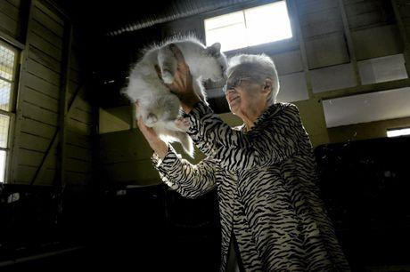 Maureen Camarsh was judging the semi long kittens at the Maclean Cat Show at Maclean Showground on Saturday, 16th April, 2016. Photo Debrah Novak / The Daily Examiner