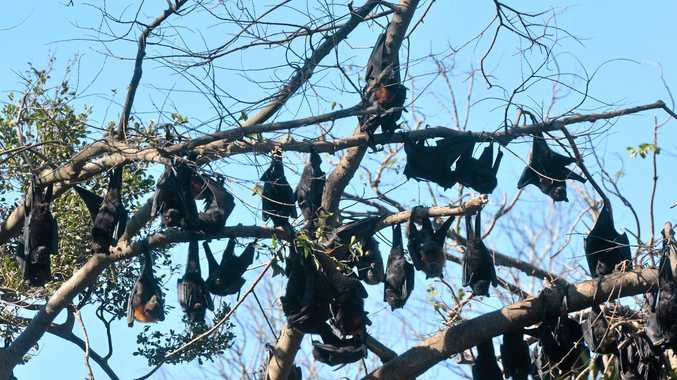 VITAL ROLE: This letter writer is disappointed in the letters and sms's against flying foxes in Toowoomba.