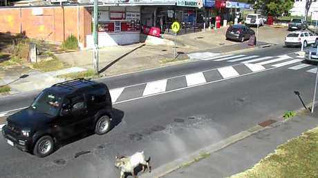 Safe City CCTV footage shows a goat on the loose in One Mile.
