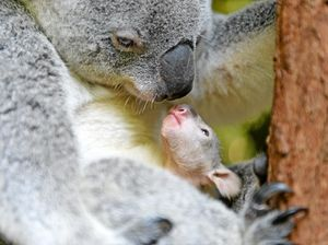 Calls for 'koala ark' to be set up in Toowoomba region