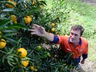 BUSY PICKING: Abbotsleigh Citrus owner Michael McMahon is right in the middle of the busiest time of the year for picking mandarins.