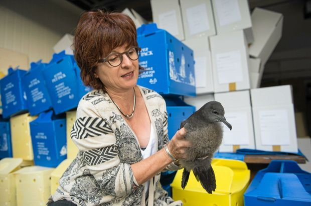 Wires volunteer Claudia Nevell with mutton bird that will be released..  25 April  2016.