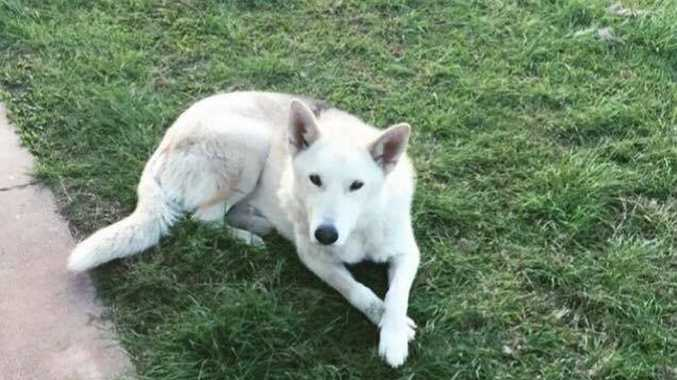 DOG NAPPED: Husky german shepherd cross Parker is feared stolen from a home in Millbank.