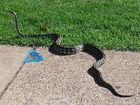 A massive snake crosses a footpath at Lake Annand Park before making a dash up a tree.