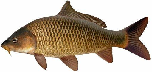 Carp is a problem in our local river systems.