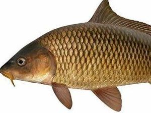Call out to curb the carp in our river systems