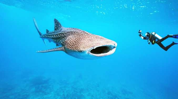 LUCKY ENCOUNTER: A scuba diver gets up close with a whale shark.