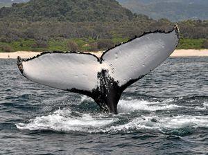Humpback whales sighted off Ballina coast