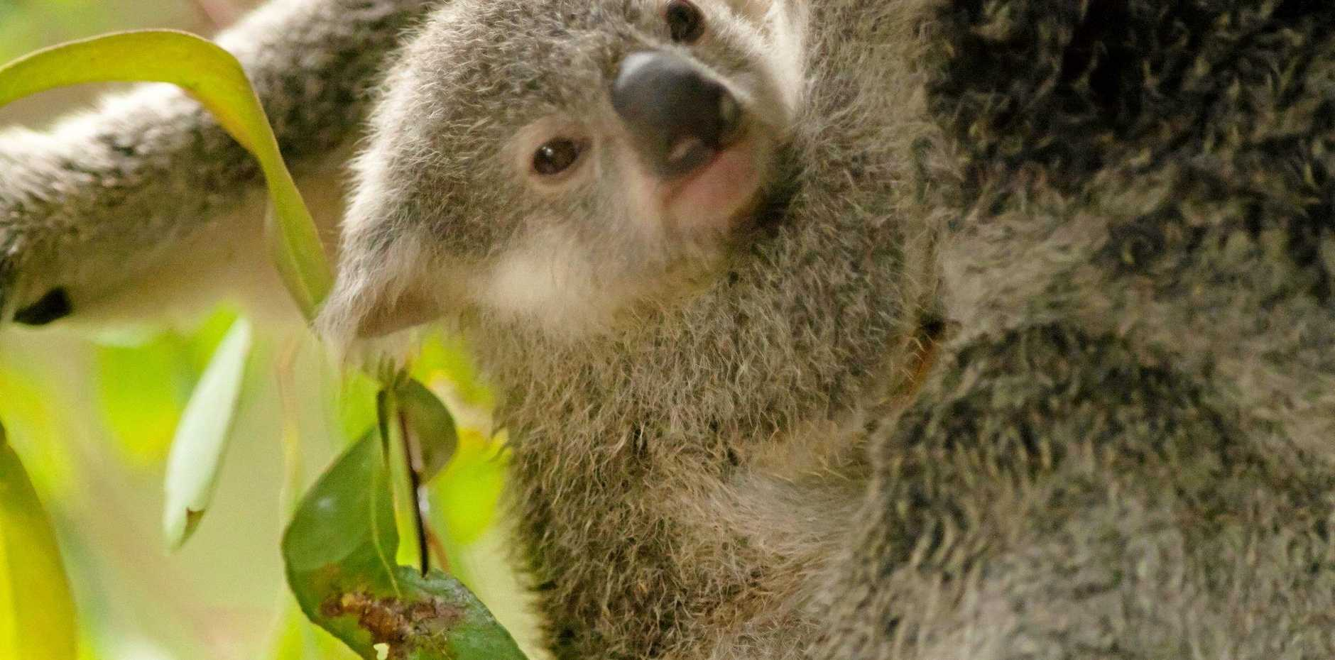 NOOSA Council's Koala Plan aims to protect habitat for the iconic species' survival