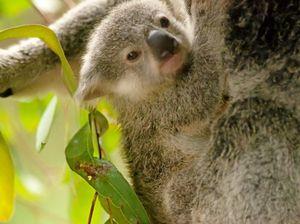 Noosa targets koala protection