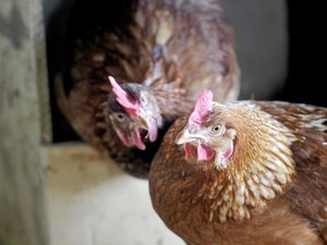 Controversial chicken, pig farm for Kybong back on table