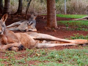 Three people injured in kangaroo attack
