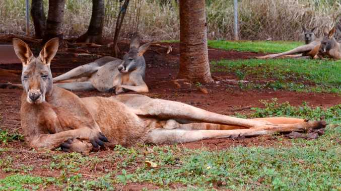 Wildlife carer's lung punctured in kangaroo attack