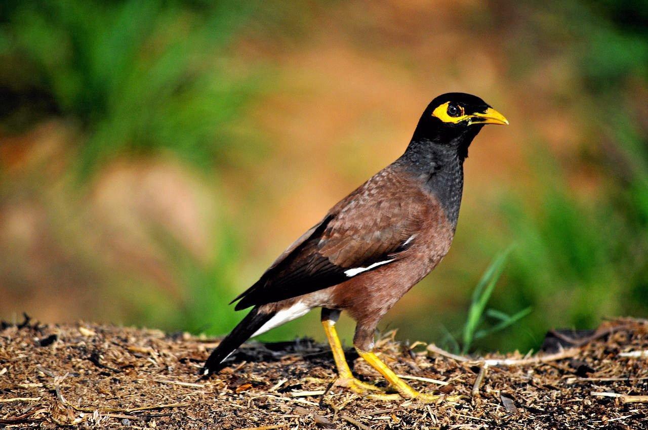 Indian Myna bird.