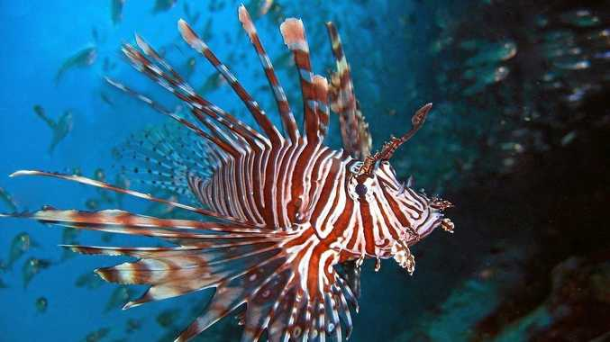ONLY DANGEROUS WHEN PROVOKED: The lion fish.