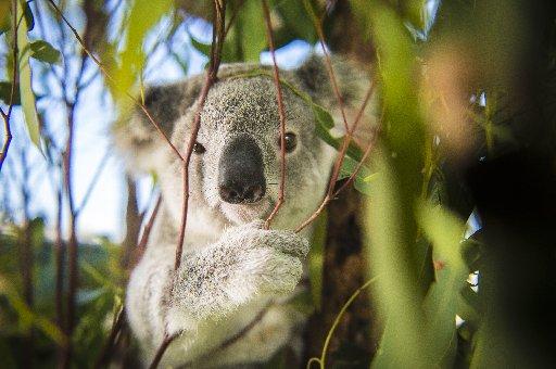 An iconic Australian animal. Photo Luka Kauzlaric / The Observer