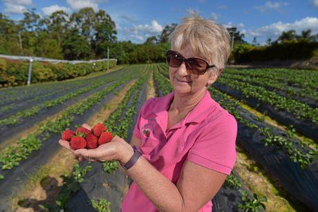 Lillian McMartin from McMartin's Strawberry Farm is ready for a bumper season.
