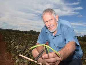 Pesty threat targets growing mung bean industry