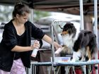 A dog gets primped before judging at the Ipswich Show on Wednesday.