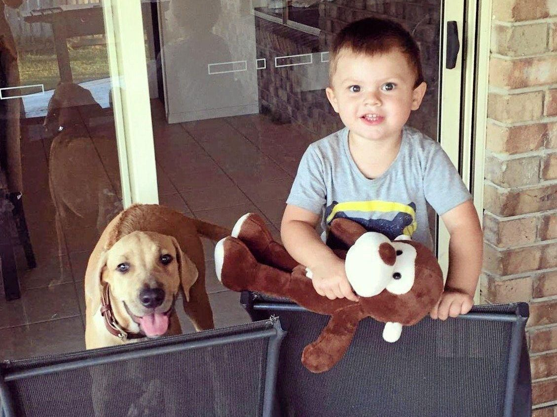 STOLEN: Noah Dryden, 2, is missing his playmate Ollie the Rhodesian Ridgeback who was taken out of their Eli Waters backyard this week.