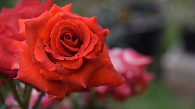 An Ian Thorpe rose.