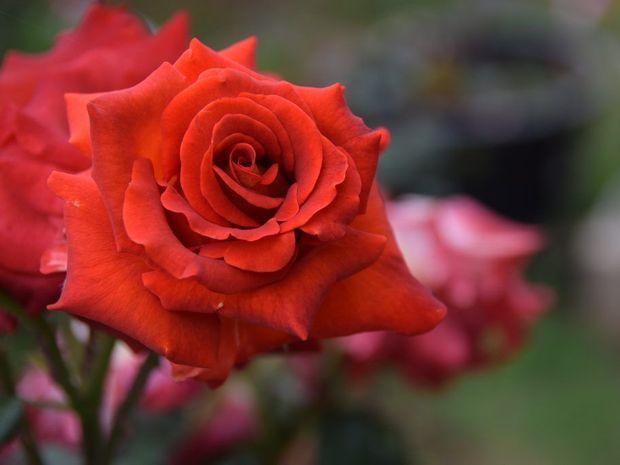 An Ian Thorpe rose.