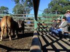 Ipswich Show cattle judging at Moreton Saleyards on Thursday morning.