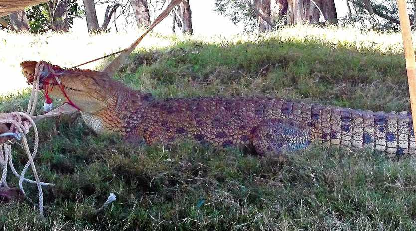 GOTCHA: An earlier Mary River croc who was caught and relocated to Rockhampton.