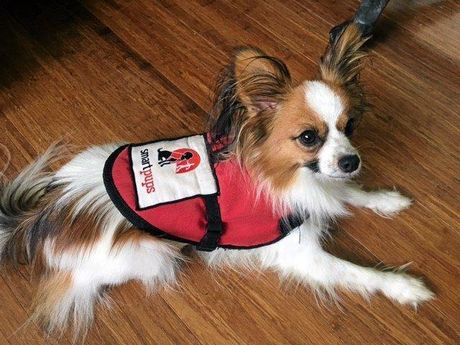 Rocky is a Medical Assistance Dog who that trained by Smart Pups on the Sunshine Coast.