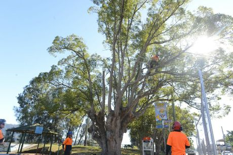 Workman sart the process of chopping down two historic Maclean Camphor Laurel trees in McLachlan Park are being chopped down to make way for progress on Sunday, 15th May 2016. Photo Debrah Novak / The Daily Examiner