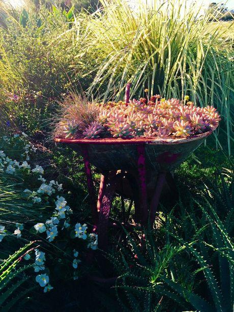An old wheelbarrow is an eye-catching way to display succulents