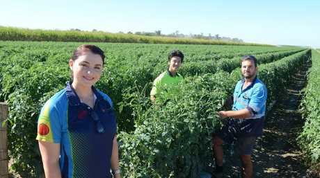 BACKPACKER TAX: Sara Abdy, Kohei Shiino and Rhys Abdy out in the field of Snapfresh Australia. Photo: Paul Donaldson / NewsMail