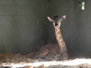 Giraffe boom continues at Australia Zoo