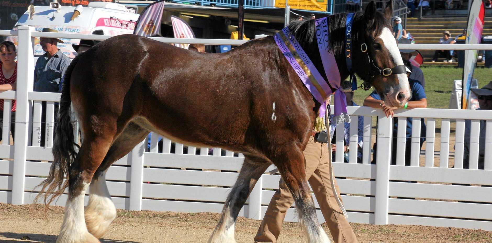 A draught horse at the Grand parade.