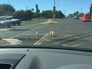 Why did the chickens cross Bargara Rd?