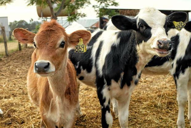 Dairy calves on the farm in Teviotville.