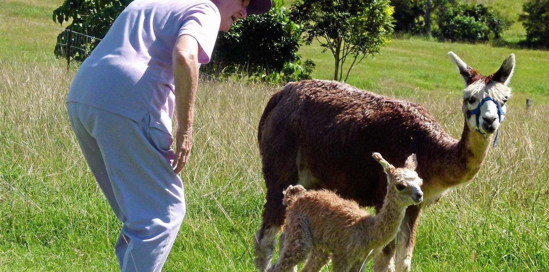 "WHEN ALPACAS DON'T ATTACK: Dawn Perryman made the mistake of getting between a passionate male alpaca and his prospective girlfriend this week, but it was not an ""attack""."